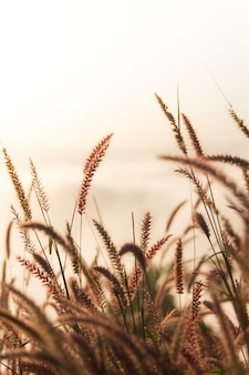 Reed canary grass on morning day