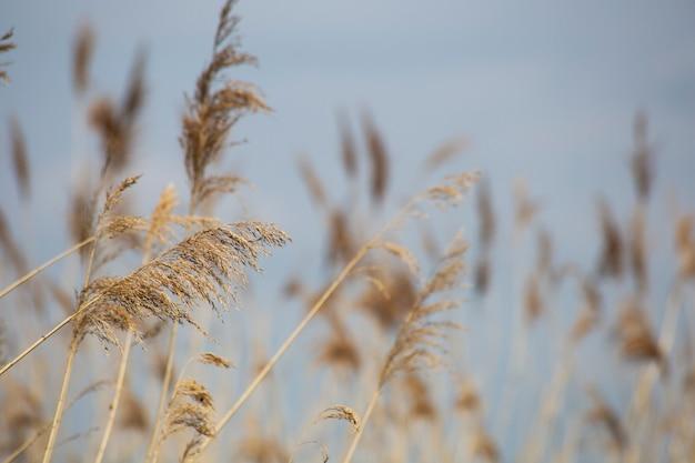 Тростниковая трава в цвету, научное название phragmites australis, намеренно размытое, нежно покачиваясь на ветру на берегу пруда, ветер