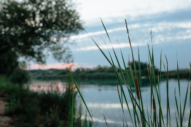 Тростниковые листья на берегу синей реки моновгат на закате концепция рыбалки и туризма