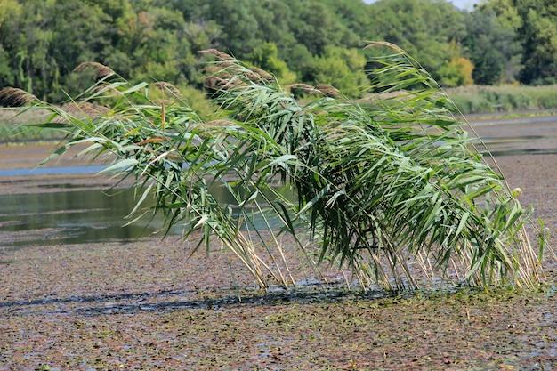 沼の葦真ん中