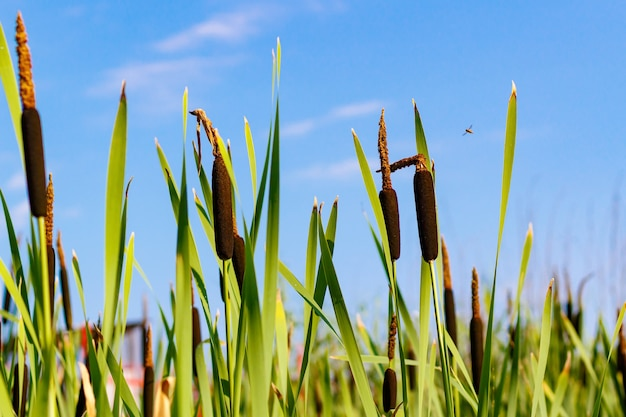 푸른 하늘 배경에 호수 기슭에 리드 공장. cattail 근접 촬영