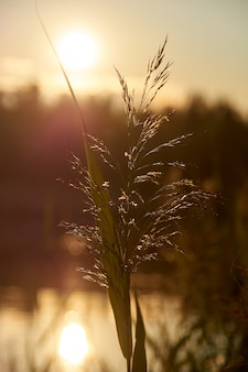 Reed at sunset. backlit photography