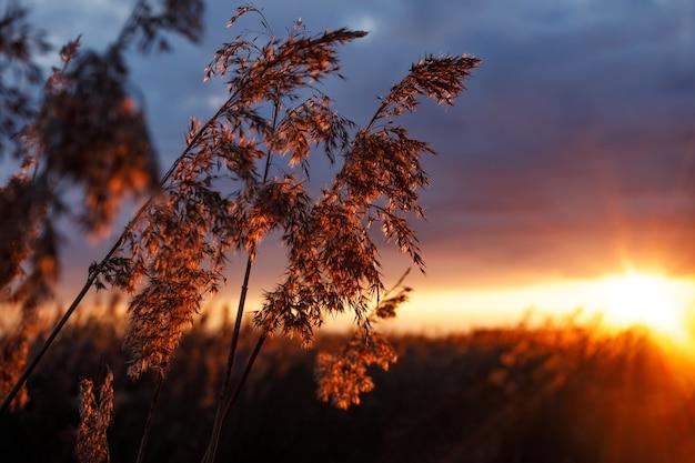 夕焼けの黄金の夕焼けの葦の茂み。ボケ味のあるセレクティブフォーカス。