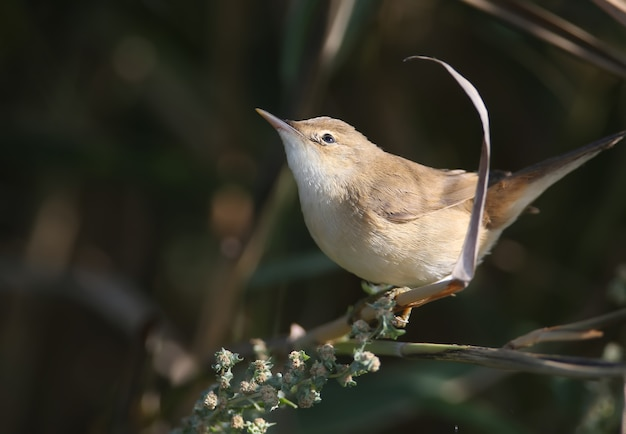 Reed warbler (acrocephalus scirpaceus) in winter plumage, close-up in natural habitat for identification