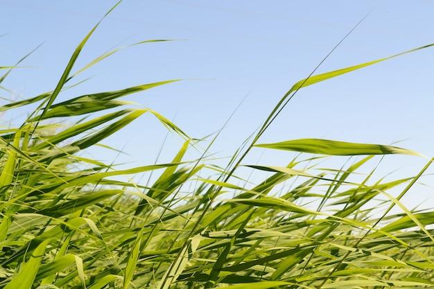 葦と青い空。空に対して風から野草が揺れる。葦は風と太陽光線で揺れます。メドウリードスウェイズ。