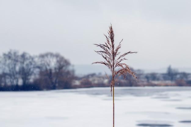 얼음과 눈으로 덮인 강둑에 있는 갈대, 겨울 전망