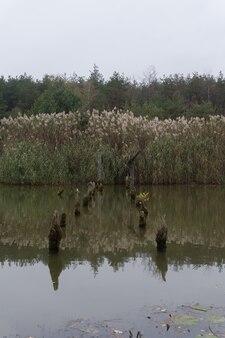 Камыши на пруду. остатки разрушенного моста. осень