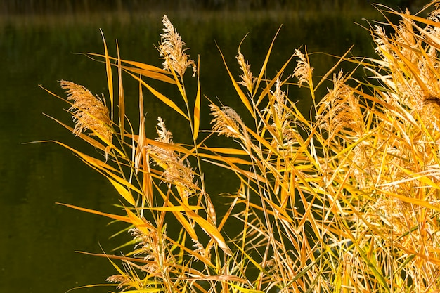 Reeds in the setting sun
