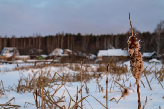 Тростник в замерзшем пруду возле деревни. деревянные дома у озера в снегу