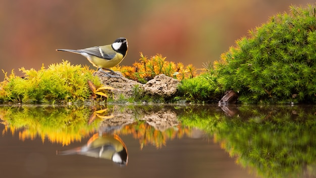 Reflection of adult great tit drinking water from colourful pond in autumn
