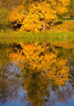 Отражение в воде дерево с желтыми листьями в осенний спокойный солнечный день
