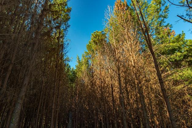 Reforestation of pinus elliot inside a farm.