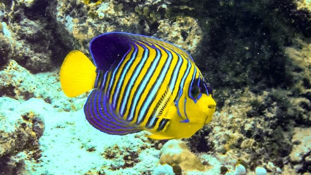 산호초, 몰디브에 있는 장엄한 엔젤피쉬.