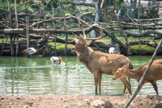 Rein deer with baby in pond