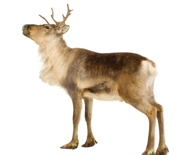Reindeer (2 years) isolated