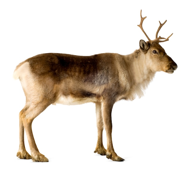 Reindeer (2 years) isolated