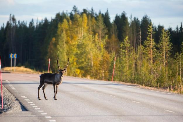 Reindeer in autumn in lapland, sweden, europe.