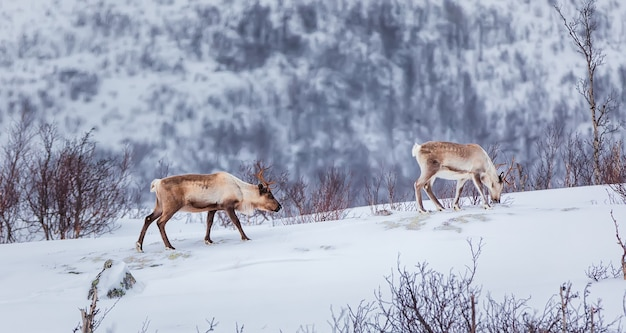 The reindeer or caribou  looking for food under the snow