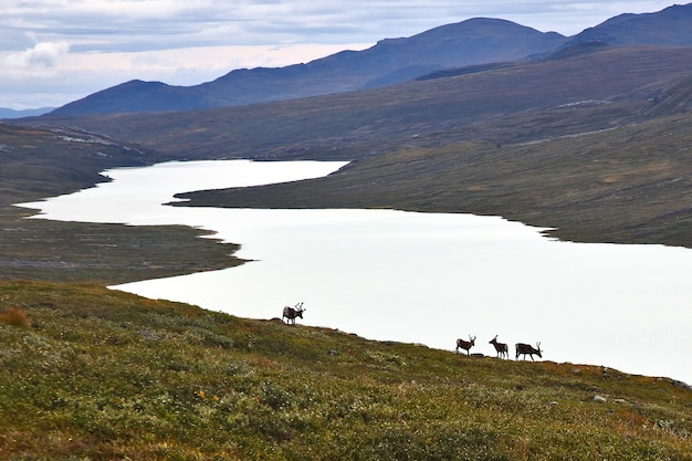 Reindeer grazing on the lake