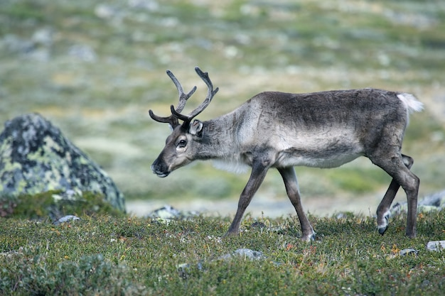 Reindeer grazing in nature