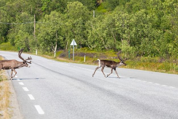 夏のノルウェーのトナカイ