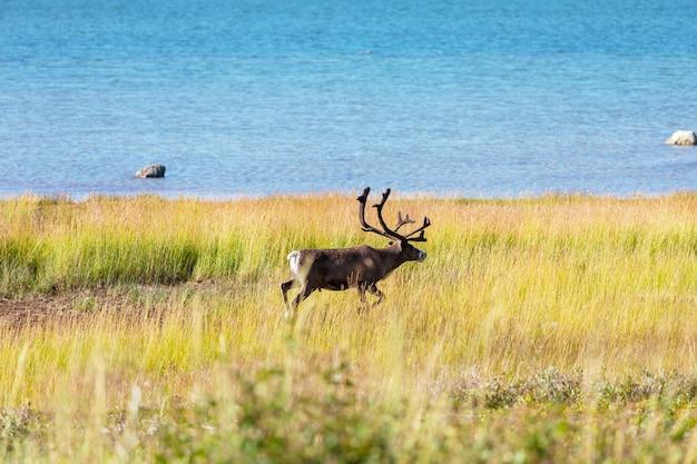 Северный олень в норвегии в летний сезон