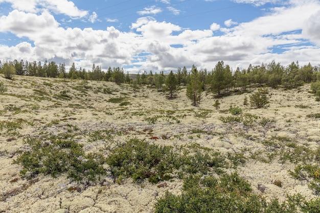 Reindeer lichen under natural conditions. summer