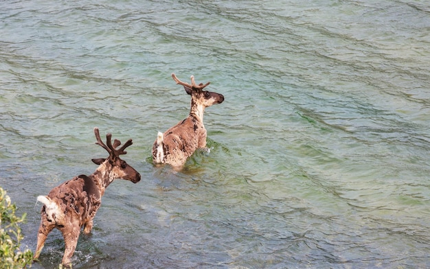 Reindeer in norway in summer season
