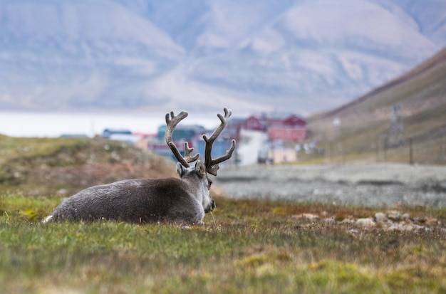 Reindeer resting at night in front of longyearbyen, svalbard, arctic