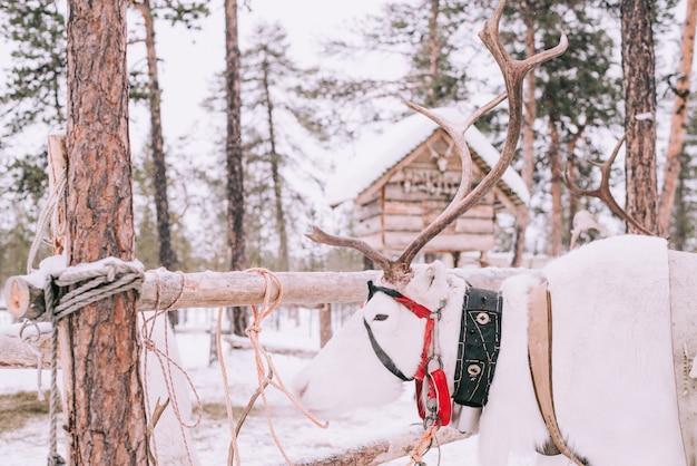 Reindeer sledge, in winter