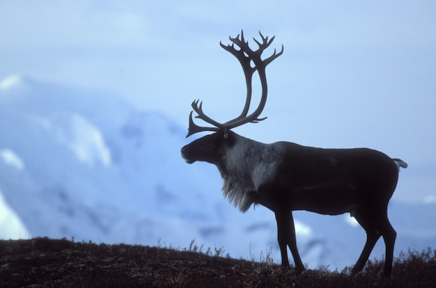 Reindeer standing on ground