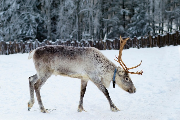 Reindeer walking on a farm in the forest in winter.