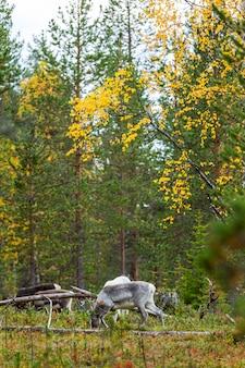 Reindeers in autumn in lapland, northern finland. europe.