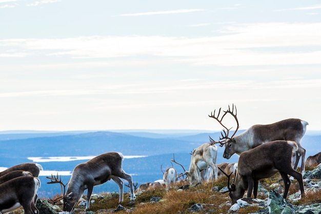 Reindeers in yllas pallastunturi national park, lapland, northern finland