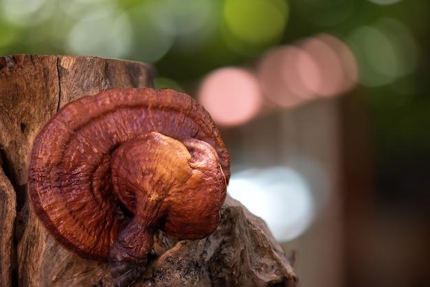 Reishi or lingzhi mushroom on blurred nature.