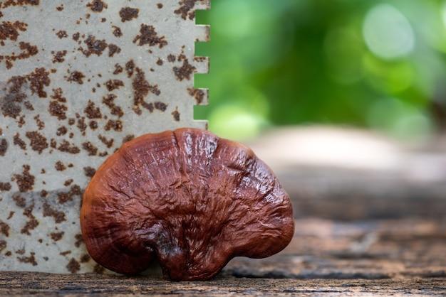 Reishi or lingzhi mushroom in blurred nature