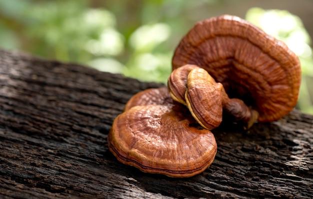 Reishi or lingzhi mushroom on natural.