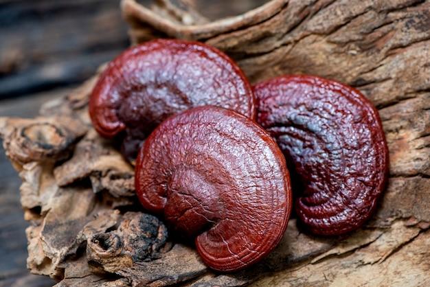 Reishi or lingzhi mushroom an on old wood background.