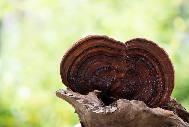 자연 배경에 reishi, lingzhi 또는 ganoderma lucidum 버섯