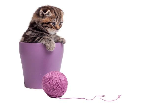 Расслабление после долгой игры. милый котенок шотландской вислоухой сидит в цветочном горшке и смотрит в сторону, лежа рядом с клубком шерсти