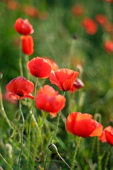 Remembrance day, anzac day, serenity. opium poppy, botanical plant, ecology.
