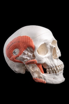 A replica of a human skull , medical study guide on black .