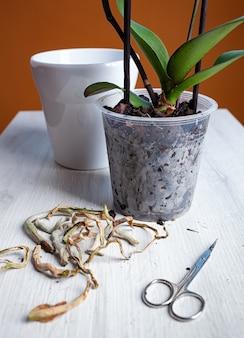 腐った乾燥した根を切った後、蘭を植え替えます。