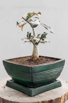 Repotted bonsai in green flower pot