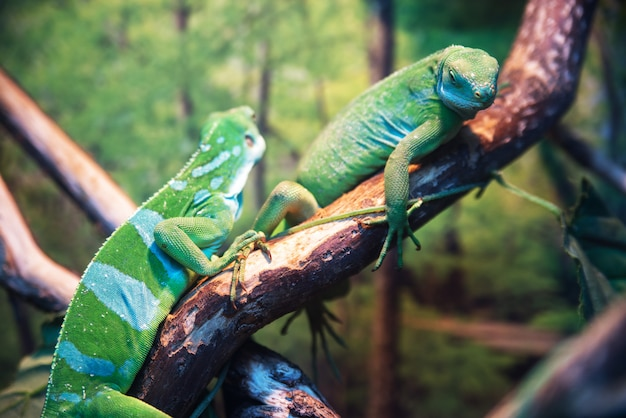 Reptile iguana green in the zoo sitting on a branch
