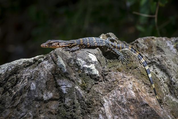 Rettile con coda lunga posa su roccia