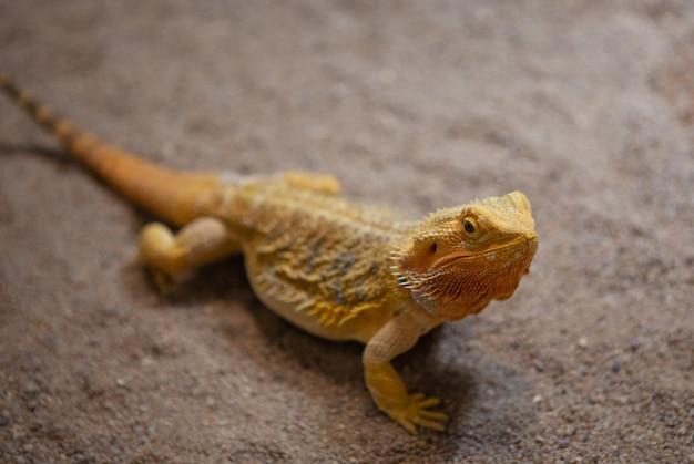 파충류와 자연. 중앙 수염 용의 초상화 호주의 건조하고 반 건조한 지역에서 발견되는 아가미 다 도마뱀 종.