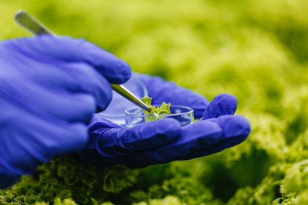 Researcher takes a probe of green plant and puts it in a petri dish