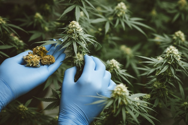 Researchers use hand to hold or examine cannabis plants in the greenhouse for medical research. marijuana sativa research concept. cbd oil, herbal medicine