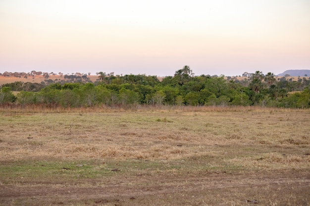 ブラジルの農場の典型的なセラード植生の残骸